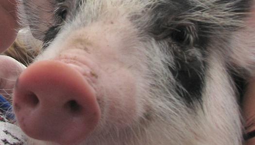 животные, свинья, АЧС