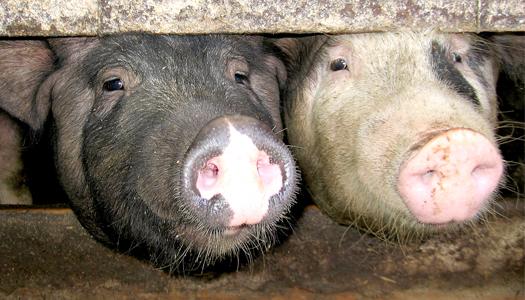 животные, свинья, мясо