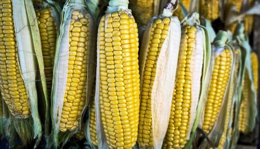 Дефіцит опадів вплинув на врожаї кукурудзи та картоплі
